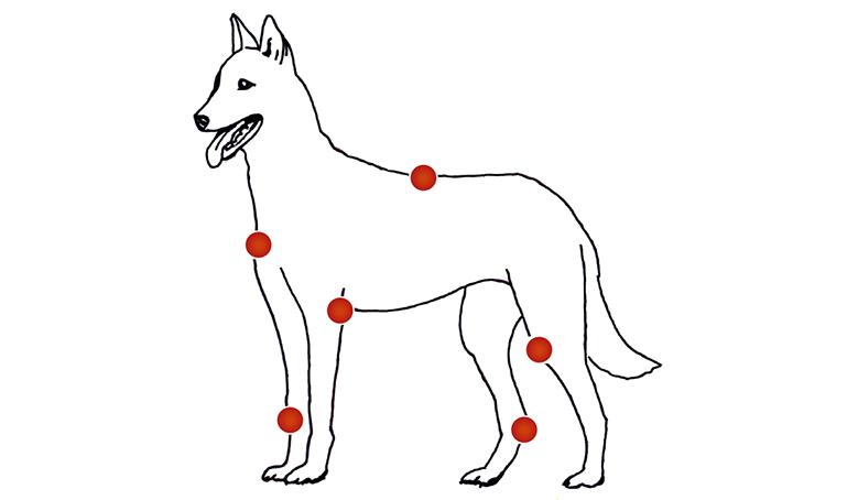 hond hinkt met voorpoot